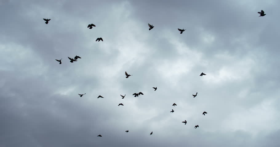 Flock of Birds in the Gloomy Sky. A flock of birds against the sky. Slow Motion at a rate of 240 fps