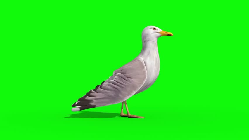 Seagull Side Green Screen 3D Renderings Animations