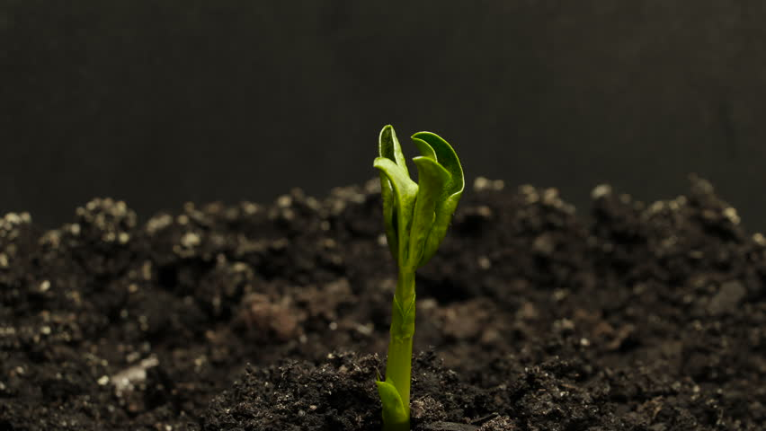Growing green cucumber plant time lapse. Timelapse seed growing, Closeup nature agriculture shoot.  Vegetable sprouting from the ground. | Shutterstock HD Video #1008489889