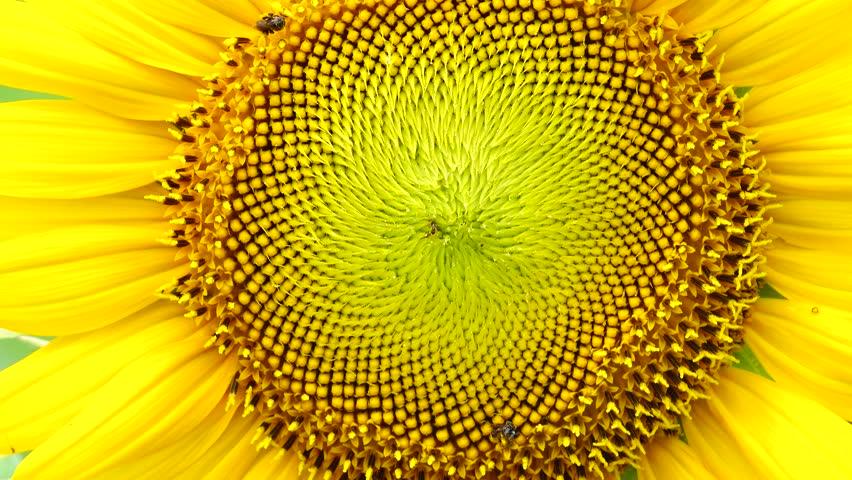 4K Sunflower flower pollen closeup background  | Shutterstock HD Video #1008592540