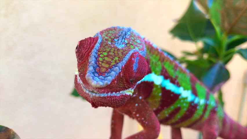 Red and Green Panther Chameleon Front View Independent Eye Movement | Shutterstock HD Video #1008636583