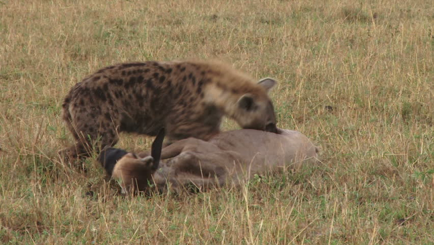 A young wildebeest tries desperately to get away from hyenas hunting it