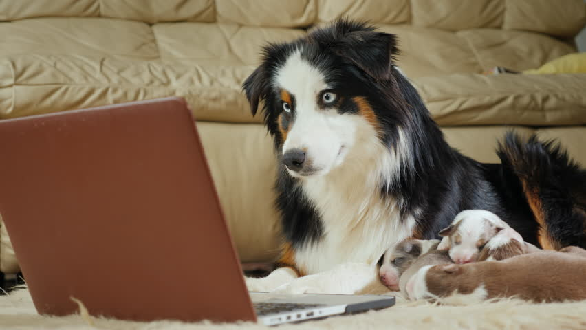 The mother of many children - a dog watching a video on a laptop. Funny videos with animals and gadgets | Shutterstock HD Video #1008788732