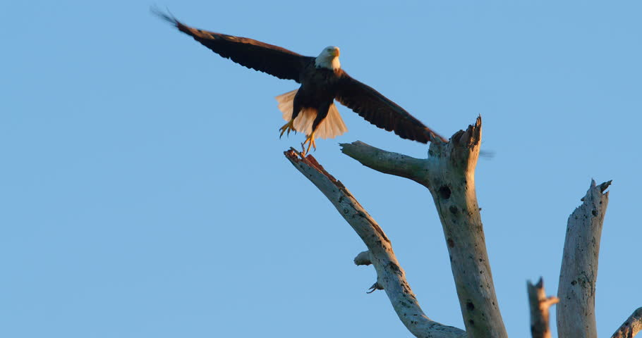Beautiful shot of Bald Eagle sitting atop of a dead tree - eagle flies away in super slow motion as camera tracks him. Sunset golden hour. 4K.