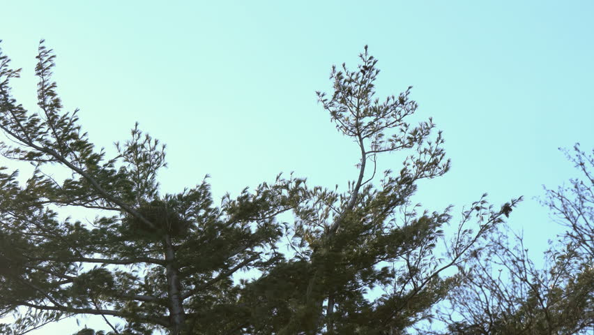 Red-tailed hawk flying in sky over nest on top of pine tree