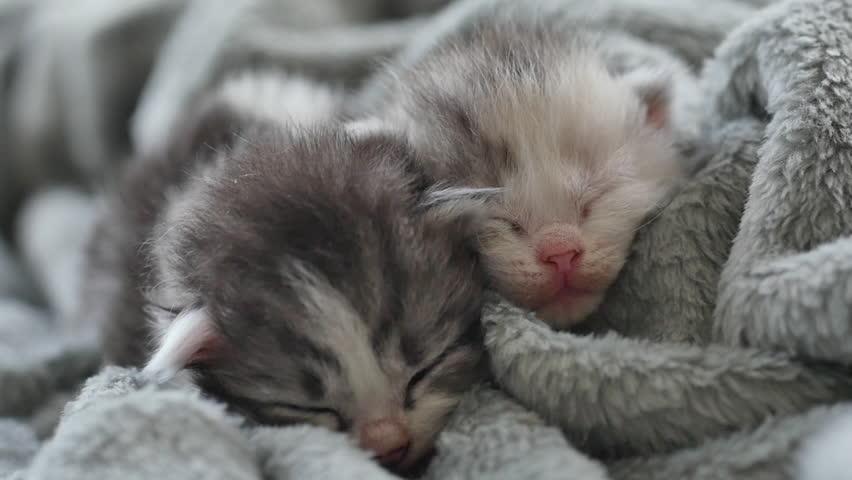 Two Newborn Kittens Sleeping Under Stock Footage Video 100 Royalty Free 1008937832 Shutterstock
