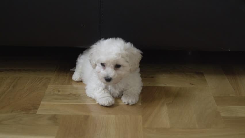 Baby Bichon Dog Lying On Arkivvideomateriale 100 Royaltyfritt 1008947966 Shutterstock