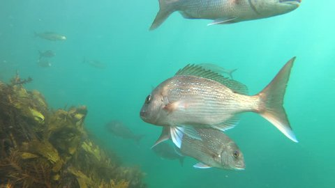 Australasian snapper or silver sea bream underwater at Goat Island marine reserve, New Zealand