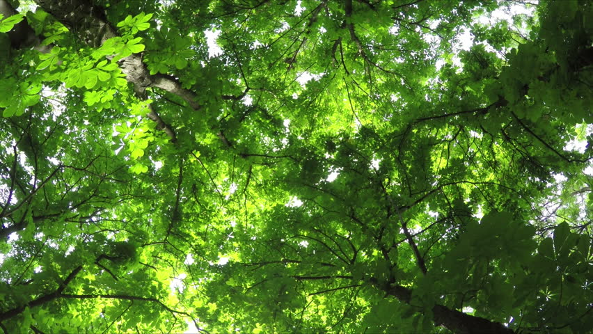 Summer Deciduous Forest Rotates. View from Below.  | Shutterstock HD Video #10090949