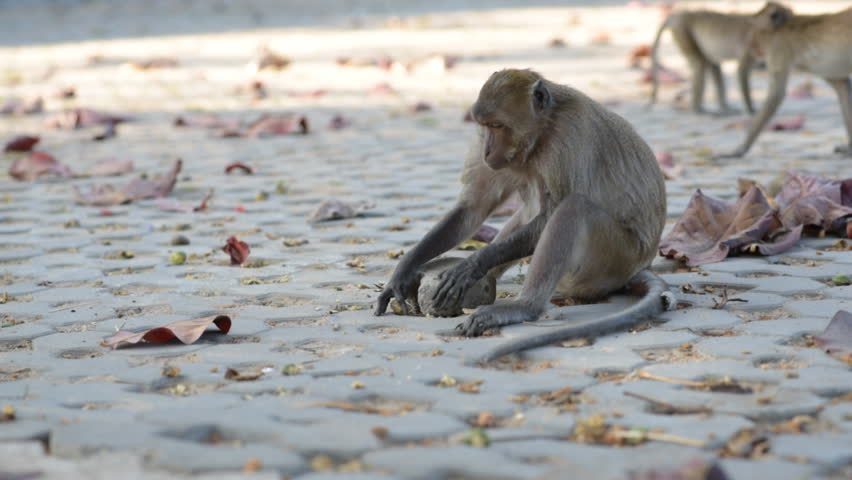 Macaque (Macaca arctoides) uses a tool - breaking a sea almond (Terminalia catappa) by hitting it with a cobblestone. This is a free-living urban monkey community of Prachuap Khiri Khan city, Thailand Royalty-Free Stock Footage #1009120967