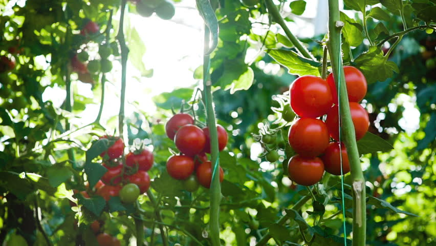 Moving around fresh ripe tomatoes on the vine with a low sun shinning behind causing flare. Turkey