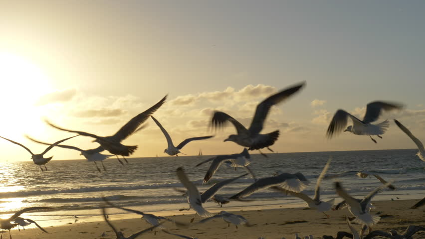 Seagulls on Beach at Sunset Tracking Shot