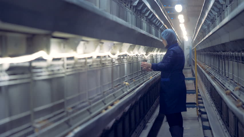 A worker is walking along the corridor of a poultry-house and observing little chickens | Shutterstock HD Video #1009227626