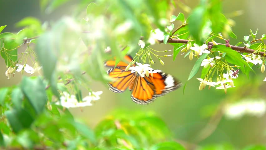Butterfly flying concept. slow motion butterfly fly catching white flower on daytime. This butterfly is beautiful orange black color wings. It fresh and beautiful green nature in summer.