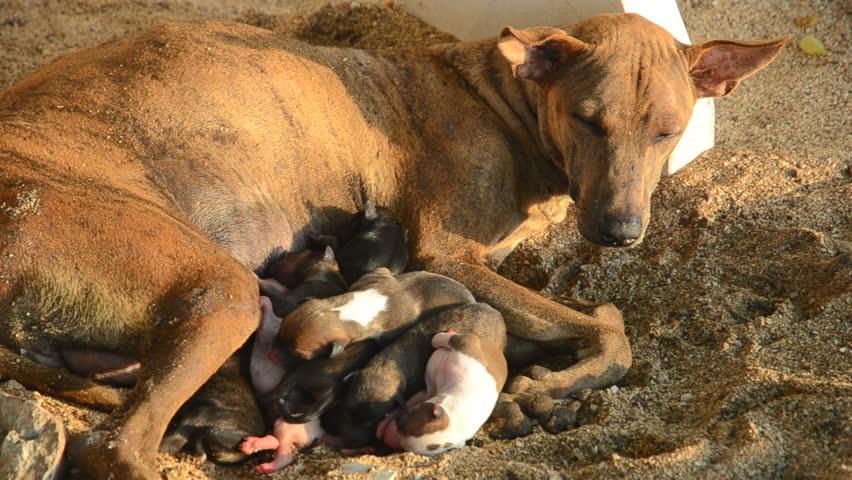 Stray dog pups breast feeding, Thailand   Shutterstock HD Video #1009490591