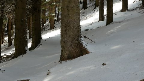 Coniferous forest in winter scenic. Panning shot on tree trunks under the snow, Alps, Italy
