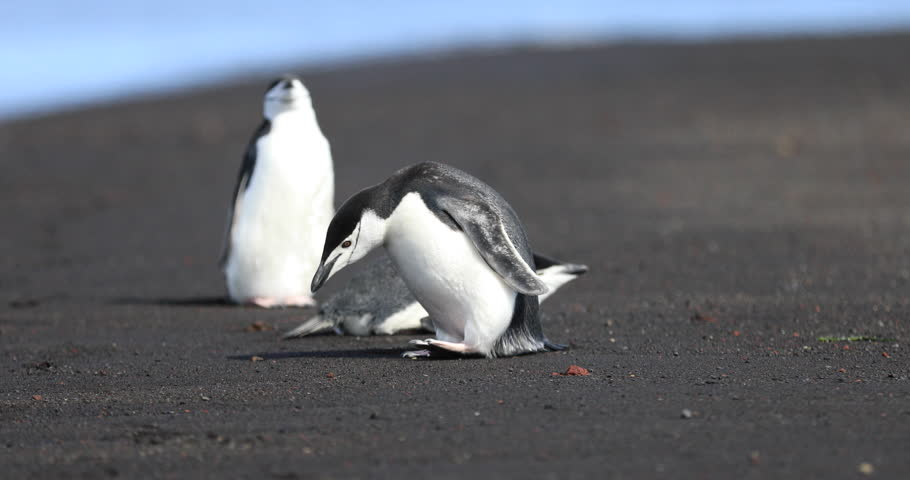 A colony of Chinstrap Penguins explores the warm sand beaches of Deception Island in Antartica, home of a dormant volcano. Scientists and researchers are studying the effects of climate change there.