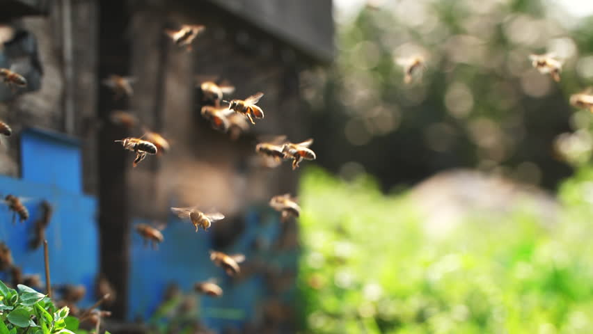 Slow motion of Honey Bee flying around Beehive with blurred background Royalty-Free Stock Footage #1009558631