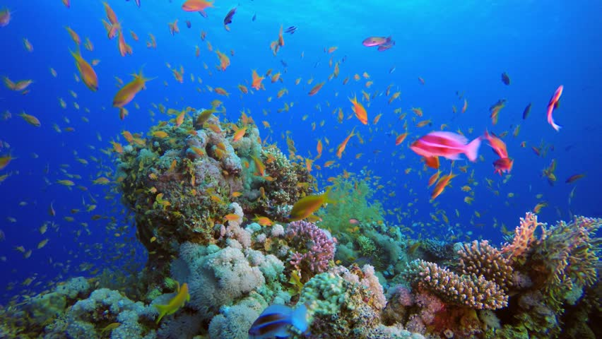 Colorful Tropical Coral Reefs. Picture of a beautiful underwater colorful fishes and corals in the tropical reef of the Red Sea Dahab Egypt.