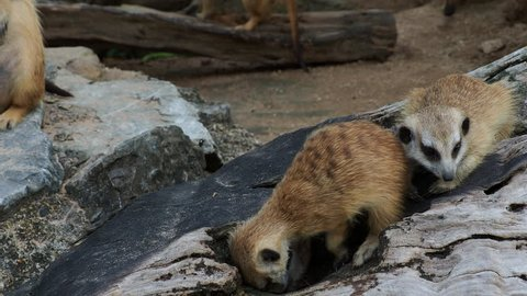 Meerkat digging hole or burrow of wooden log to find some food with concept of curiosity, inquisitiveness, and finding