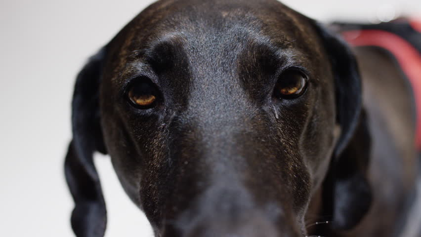 Hound dog close up eyes and nose | Shutterstock HD Video #1009584218