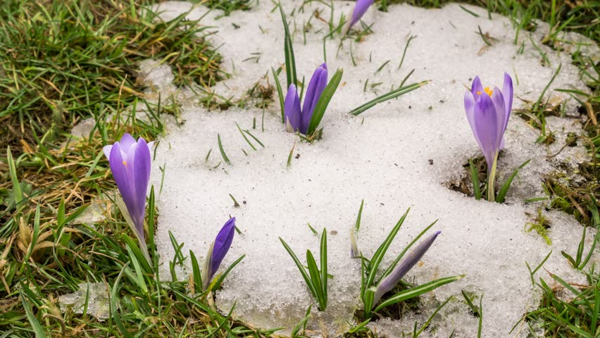 Snow melting and crocus flower blooming in spring Time lapse  | Shutterstock HD Video #1009622651