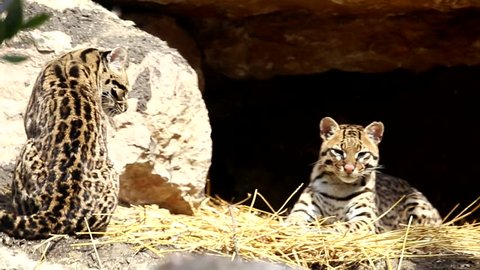 Ocelot, Leopardus pardalis, small cats, Or Brazilian Cat