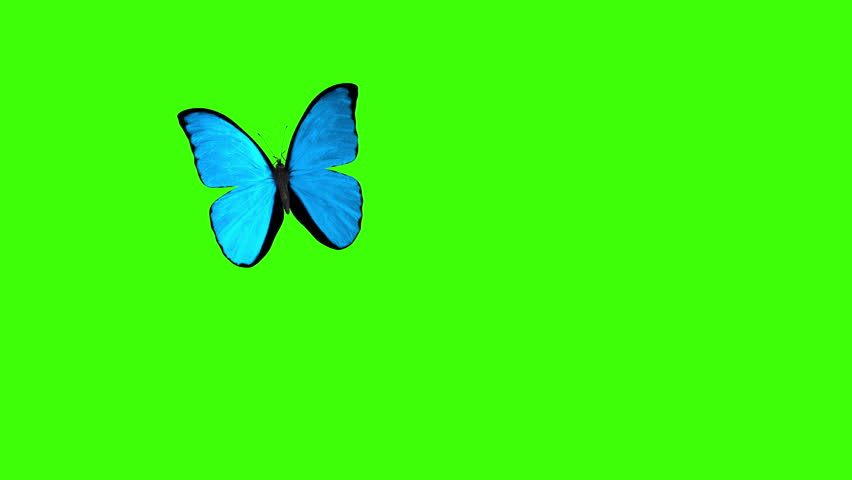 Morpho Menelaus Blue Butterfly Flying on a Green Background. Beautiful 3d animation with passes of shadow and global illumination. 4K
