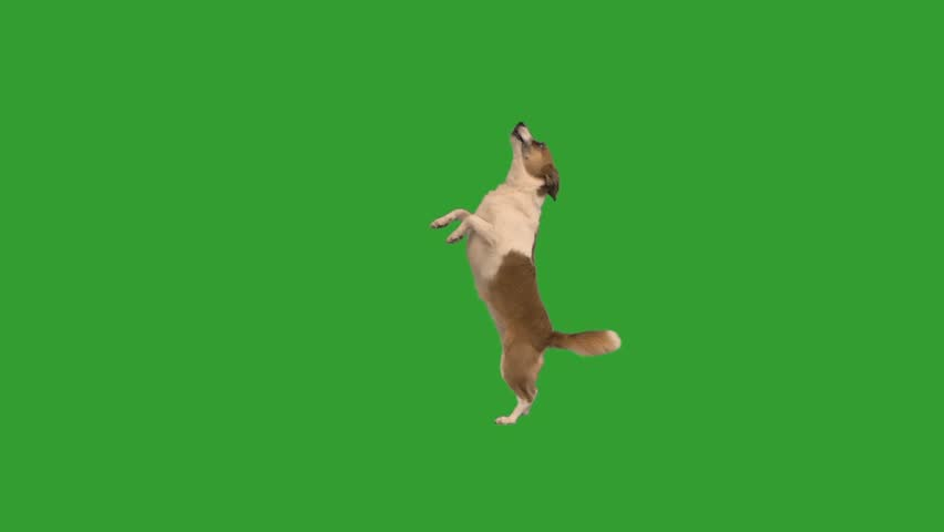 Doggy dancing on a green screen