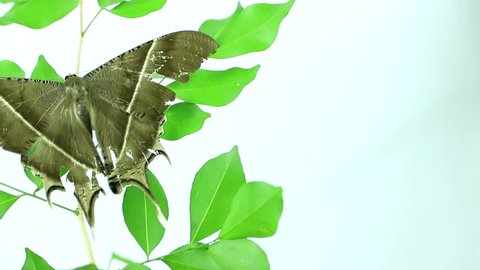 A night moth sits on the green grass. perched on a leaf with outstretched wings.