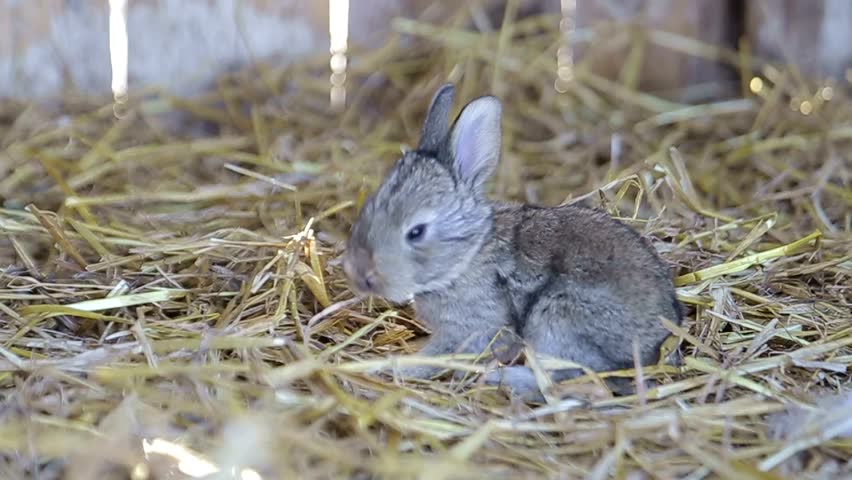 Meat animals raised in livestock farm.Domestic rabbits grow in cages for natural meat source. | Shutterstock HD Video #1009784495