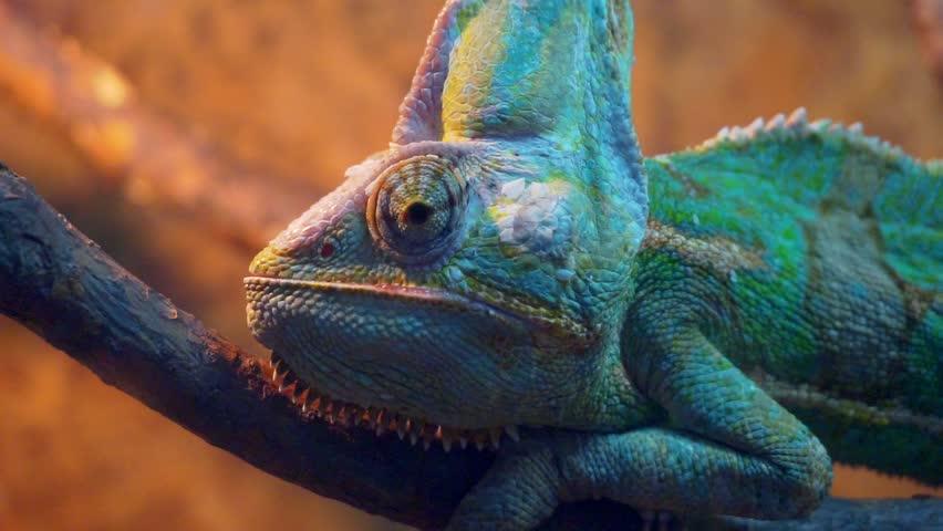 Funny portrait Veiled Chameleon close-up.