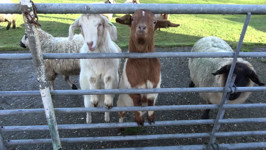 Footage of curious domesticated goats behind farm gate goats are naturally curious they are also agile and well known for their ability to climb and balance in precarious places 4k high resolution