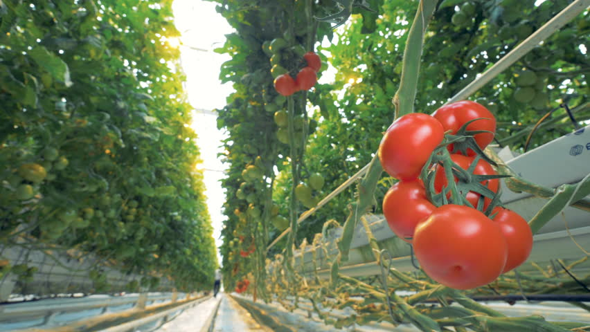 Greenhouse tomato brushwood with green and red tomatoes in it.
