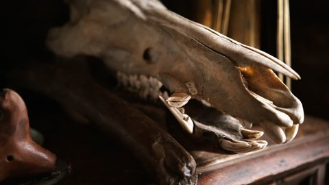 indoor farmer house, cupboard decorated horse skull and trinket, close-up old horse skull with tooths slow panorama on bones