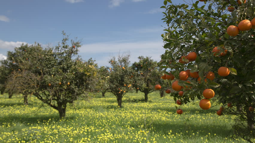 Scenic view of green garden. Farming in springtime. Location place Sicily Italy, Europe. Discover the beauty of earth. Footage before and after. Example of photo editing process. Shooting in 4K video. | Shutterstock HD Video #1009912766