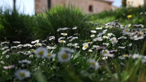 Hand touching little daisies
