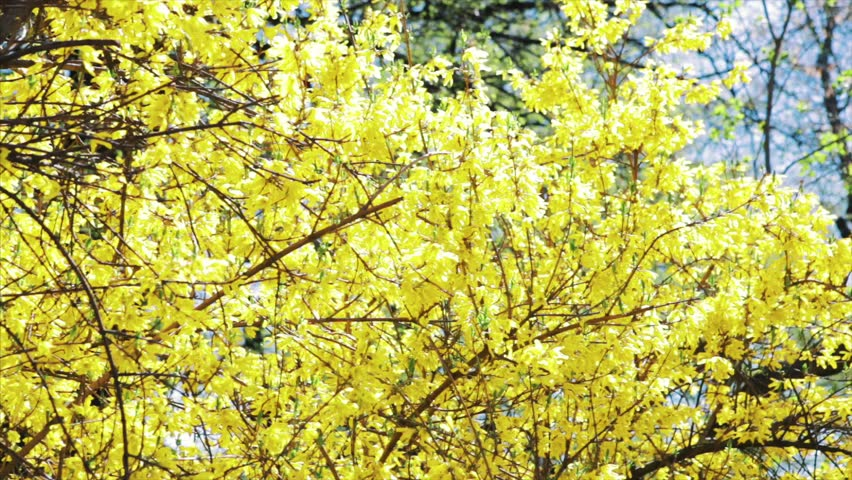 Bushes Blossomed Yellow Flowers Sunny Stock Footage Video