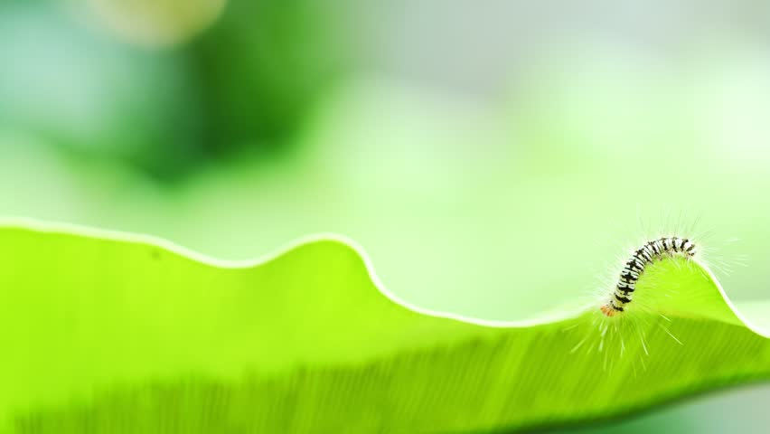 Caterpillar walking on green leaf. | Shutterstock HD Video #1009975901