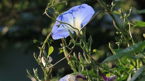 Light swaying of bluish buttercup flower in breeze in sunny day