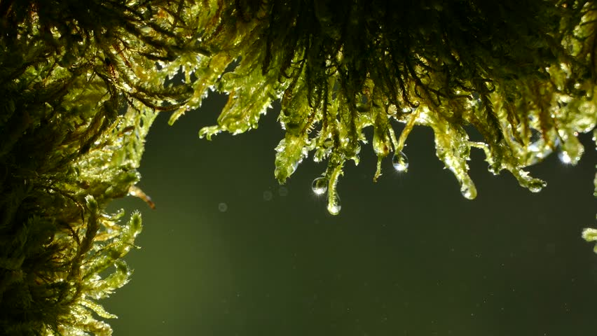 Drops of water flow from the moss in the forest. The rays of the sun glint in droplets on the moss. View from the cave. Green background.