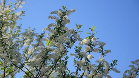 Flowering cherry in the Altai Mountains  ash, Rowan, ashberry