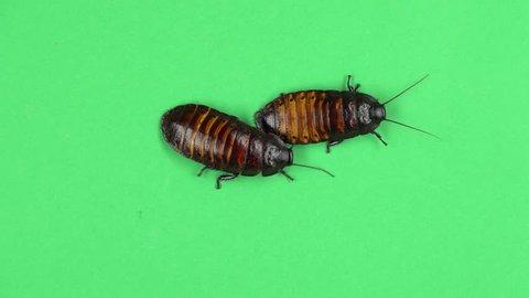 Two madagascar cockroach crawls. Green screen