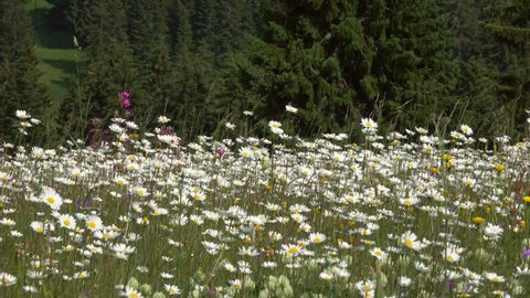 summer meadow with daisies, panorama 4k