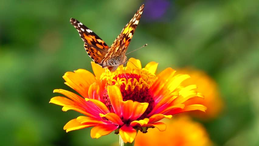 butterfly in garden,garden,summer,flower and butterfly,flower,butterfly, flower butterfly