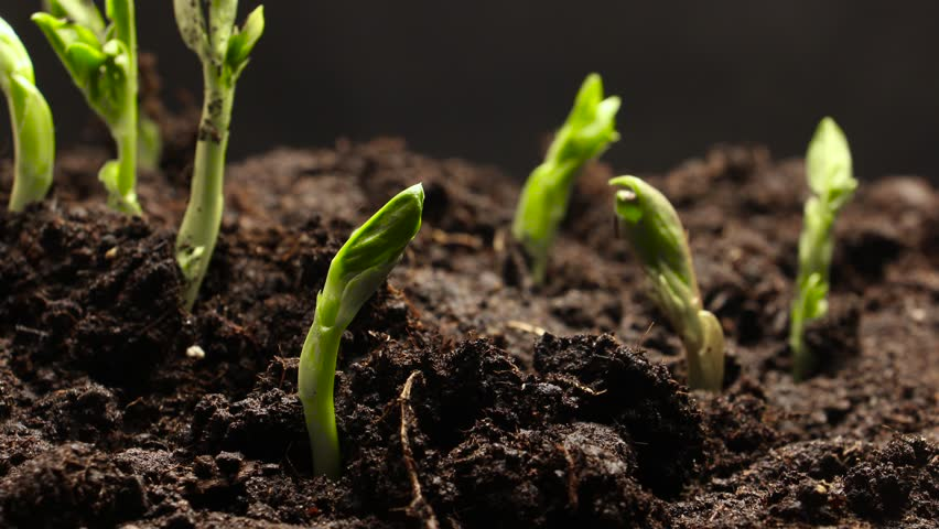 Time lapse of vegetable seeds growing or sprouting from the ground