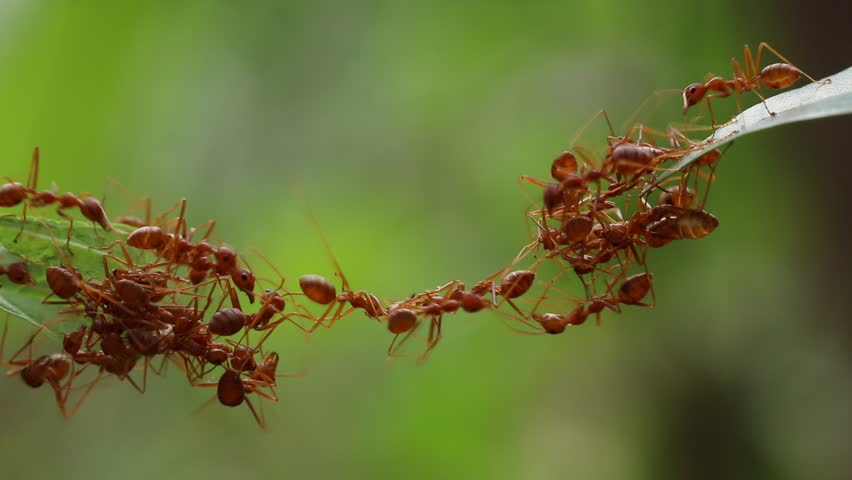Ant bridge unity team,Concept team work together,Video footage show sacrifice of ant