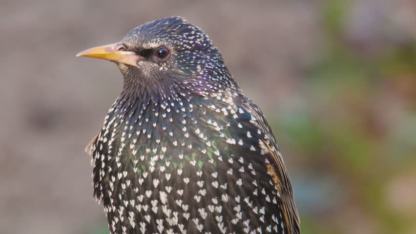 Common starling. Close-up of the bird in spring. | Shutterstock HD Video #1010113649