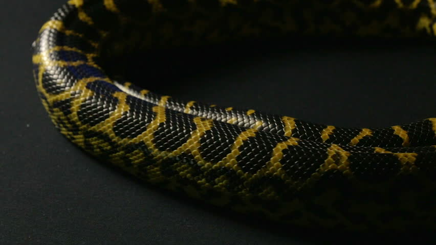 Yellow anaconda in ring