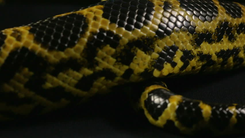 Crawling tail of yellow python #1010119232